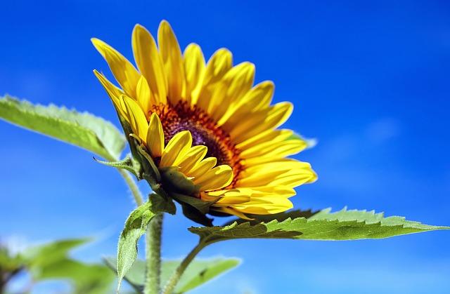 Die Sonnenblume der Kombination